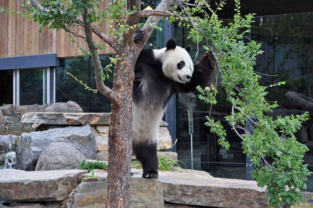 A giant panda at Adelaide Zoo
